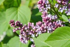 Lilac boombloemen Stock Fotografie