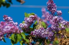 lilac Borboleta Machaon de Papilio imagens de stock