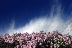 Lilac border Stock Image
