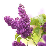 Lilac border. Lilac flowers in spring - border of a page, purple and green colors Royalty Free Stock Images