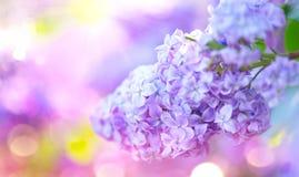 Lilac bos van de lente violette bloemen Mooie bloeiende violette Lilac bloem in een tuin stock afbeelding