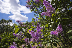 Lilac in the botanic garden. Lilac with purple flowers in the botanic garden. Sky background. Cloudy Royalty Free Stock Image