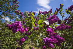 Lilac in the botanic garden. Lilac with purple flowers in the botanic garden. Sky background. Cloudy Stock Image