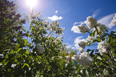 Lilac in the botanic garden. Lilac with white flowers in the botanic garden. Sky background. Cloudy Stock Photos