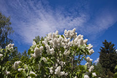 Lilac in the botanic garden. Lilac with white flowers in the botanic garden. Sky background. Cloudy Stock Photography