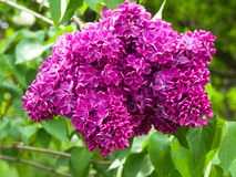 Lilac in Botanical Garden. Kiev, May, 2015 Royalty Free Stock Images