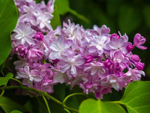 Lilac in the Botanical Garden. Spring Stock Photo