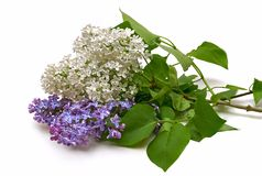 Lilac bouquet in a white background. Lilac bouquet lying on a white table royalty free stock photography