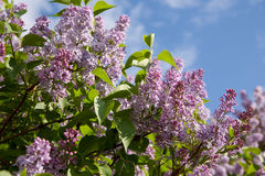 Lilac branch Stock Photos