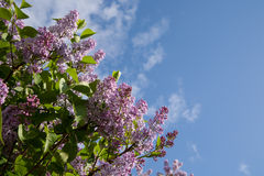 Lilac branch Stock Photography