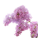 Lilac branch Royalty Free Stock Image
