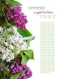 Lilac branch Stock Image