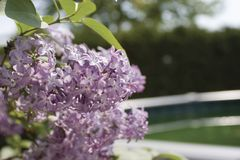 Lilac branch. Hanging over a fence Stock Photo