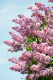 Lilac branch against blue sky in spring day Stock Images