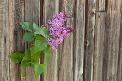 Lilac branch against the wooden background Stock Photos