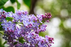 Lilac branch, beautiful purple color. Blurred background from behind. spring green background. Natural spring background. Lilac branch, beautiful purple color royalty free stock images