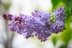 Lilac branch, beautiful purple color. Blurred background from behind. spring green background. Natural spring background. Lilac branch, beautiful purple color royalty free stock photos