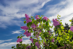 Lilac branch Royalty Free Stock Photography