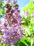 Lilac branch stock illustration