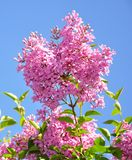 Lilac branch on blue sky background Stock Photos
