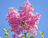 Lilac branch on blue sky background Royalty Free Stock Photos