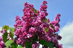 Lilac branch on blue sky background Royalty Free Stock Photography