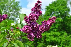 Lilac branch on blue sky background Stock Photo