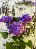 The original composition of the branch of lilac stock images
