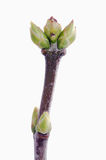 Lilac  branch with buds. Lilac branch with buds on white background Stock Photography