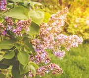 Lilac branch, close-up on a bright sunny day Royalty Free Stock Images
