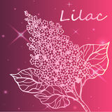 Lilac branch - detailed sketch Stock Image