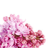 Lilac branch. Royalty Free Stock Photos