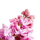 Lilac branch. Royalty Free Stock Images