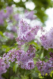 Lilac branch Stock Photo