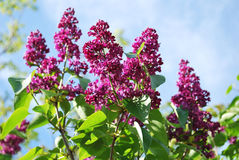Lilac branch with flowers in spring garden Stock Image
