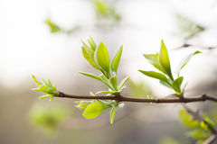 Lilac branch with fresh green leaves. spring garden scene and new life concept. soft pastel background. macro view Royalty Free Stock Image