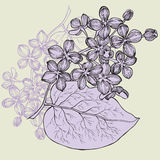 Lilac branch, hand-drawing. Vector illustration. Stock Photography