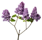 Lilac branch isolated on white Royalty Free Stock Photography