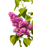 Lilac branch isolated Stock Photography