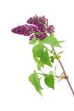 Lilac branch isolated on  white background Royalty Free Stock Photos