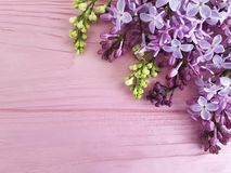 Lilac branch nature blossom on a pink wooden background, frame. Lilac branch on a pink wooden background, frame beautiful nature blossom Royalty Free Stock Photography