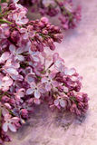 Lilac Branch. Small bunches of lilac on purple background Stock Images