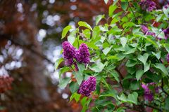 Lilac lilac on the background of Canadian maple with beautiful bokeh. Lilac branch in springtime. Blossoming syringa. Red florets of lilac spring in garden stock photo