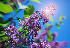 Lilac branch with a sun flare royalty free stock photography