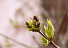 Lilac branch unblown Stock Photography