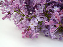 Lilac branch on a white background Stock Photo
