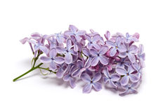 Lilac branch. On white background Stock Photo