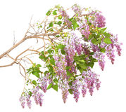 Lilac branch on a white background Royalty Free Stock Photography