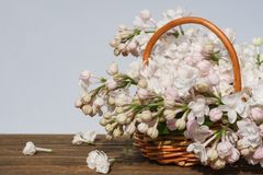 Lilac branch in wattled small basket on a wooden brown table, a gray-blue background royalty free stock images