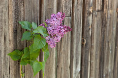 Lilac branch at the wooden background Stock Photos